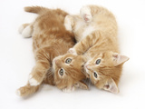 Two Ginger Kittens Rolling Playfully on their Sides Photographic Print by Mark Taylor