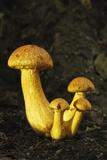 Spectacular Rustgill (Gymnopilus Junonius) Mushrooms. Ebernoe Common, West Sussex, England, UK Photographic Print by Guy Edwardes