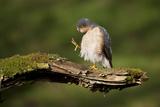 Sparrowhawk (Accipiter Nisus) Adult Male Grooming. Scotland, UK, February Photographic Print by Mark Hamblin