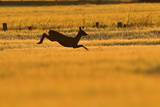 Roe Deer (Capreolus Capreolus) Doe Leaping Through Barley Field in Dawn Light. Perthshire, Scotland Photographic Print by Fergus Gill