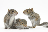 Grey Squirrels (Sciurus Carolinensis) Three Young Hand-Reared Portrait Fotografisk tryk af Mark Taylor