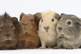 Four Baby Guinea Pigs, Each a Different Colour Photographic Print by Mark Taylor
