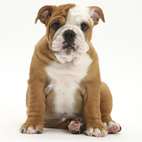 Portrait of a Bulldog Puppy Sitting, 11 Weeks Photographic Print by Mark Taylor