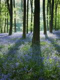 A Carpet of Bluebells (Endymion Nonscriptus) in Beech (Fagus Sylvatica) Woodland, Hampshire, UK Photographie par Guy Edwardes