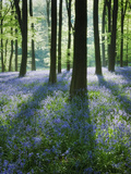 A Carpet of Bluebells (Endymion Nonscriptus) in Beech (Fagus Sylvatica) Woodland, Hampshire, UK Fotografie-Druck von Guy Edwardes