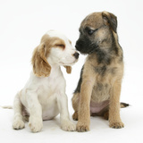 Orange Roan Cocker Spaniel Bitch Puppy, Blossom, with Border Terrier Bitch Puppy, Kes Photographic Print by Mark Taylor