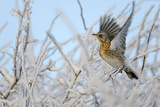 Fieldfare (Turdus Pilaris) Perched in a Frosted Winter Hedgerow, Cambridgeshire, England, UK Photographie par Chris Gomersall
