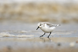 Sanderling (Calidris Alba) in Winter Plumage Feeding on Tideline, the Wash, Norfolk, March Reproduction photographique par Chris Gomersall