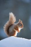 Red Squirrel (Sciurus Vulgaris) Adult in Snow, Cairngorms National Park, Scotland, February Fotografisk trykk av Mark Hamblin