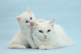 White Maine Coon-Cross Mother Cat, and Her White Kitten Photographic Print by Mark Taylor