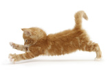Ginger Kitten Jumping Forwards with Front Paws Photographic Print by Mark Taylor