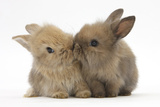 Two Baby Lionhead-Cross Rabbits, Touching Noses Fotografisk tryk af Mark Taylor