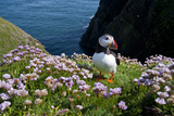 Puffin (Fratercula Arctica) by Entrance to Burrow Amongst Sea Thrift (Armeria Sp.) Shetlands, UK Reproduction photographique par Alex Mustard
