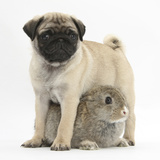 Fawn Pug Puppy, 8 Weeks, Standing over Young Rabbit Photographic Print by Mark Taylor