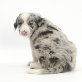 Merle Border Collie Puppy, 6 Weeks, Looking over His Shoulder Photographic Print by Mark Taylor