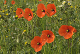 Common Poppies (Papaver Rhoeas) Rspb Hope Farm Reserve, Cambridgeshire, England, UK, May Photographic Print by Chris Gomersall
