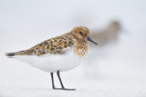 Sanderling (Calidris Alba) in Breeding Plumage, Standing on Shoreline, Outer Hebrides, Scotland, UK Photographic Print by Fergus Gill