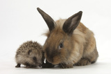 Baby Hedgehog and Young Lionhead-Cross Rabbit Photographic Print by Mark Taylor