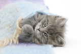 Maine Coon Kitten Looking Out from under a Blanket Photographic Print by Mark Taylor