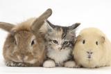 Sandy Rabbit, Tabby Tortoiseshell Maine Coon-Cross Kitten, 7 Weeks, and Yellow Guinea Pig Fotografisk tryk af Mark Taylor