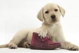 Yellow Labrador Retriever Puppy, 8 Weeks, with a Child's Shoe Photographic Print by Mark Taylor