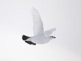 Rock Ptarmigan (Lagopus Mutus) Female in Flight, Winter Plumage, Cairngorms Np, Highland, UK Photographie par Peter Cairns