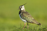Lapwing (Vanellus Vanellus) Adult in Breeding Plumage, Scotland, UK, June Reproduction photographique par Mark Hamblin