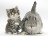 Tabby Kitten with Grey Windmill-Eared Rabbit Photographic Print by Mark Taylor