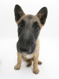 Belgian Shepherd Dog Puppy, Antar, 10 Weeks, Sitting, Looking Up Photographic Print by Mark Taylor
