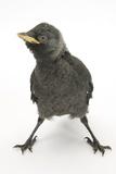 Baby Jackdaw (Corvus Monedula) with Feet Wide Apart Reproduction photographique par Mark Taylor