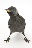 Baby Jackdaw (Corvus Monedula) with Feet Wide Apart Photographic Print by Mark Taylor