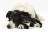 Black-And-White Border Collie Bitch, with Black-And-White Tuxedo Male Kitten, 9 Weeks Old Photographic Print by Mark Taylor