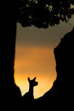 Red Deer (Cervus Elaphus) Silhouette of Hind in Woodland Glade at Sunset, Bradgate Park, UK Photographic Print by Danny Green