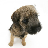 Border Terrier Bitch Puppy, Rusty, 10 Weeks, Sitting Photographic Print by Mark Taylor