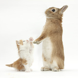 Ginger-And-White Kitten with Sandy Netherland Dwarf-Cross Rabbit Photographic Print by Mark Taylor