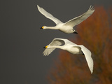 Whooper Swans (Cygnus Cygnus) in Flight, Caerlaverock Wwt, Scotland, Solway, UK, January Photographic Print by Danny Green