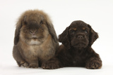 American Cocker Spaniel Puppy and Lionhead-Cross Rabbit Photographic Print by Mark Taylor