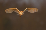 Barn Owl (Tyto Alba) in Flight in Morning Light. Wales, UK, March Photographic Print by Andy Rouse
