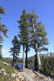 Ponderosa Pines Trees (Pinus Ponderosa) Lassen Volcanic National Park, California, USA Photographic Print by Mark Taylor