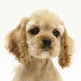 Buff American Cocker Spaniel Puppy, China, 10 Weeks Photographic Print by Mark Taylor