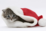 Maine Coon Kitten, Goliath, in a Father Christmas Hat Photographic Print by Mark Taylor