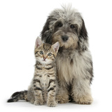 Tabby Kitten 8 Weeks, with Fluffy Black and Grey Daxie Doodle (Daschund Poodle Cross) Puppy Photographic Print by Mark Taylor