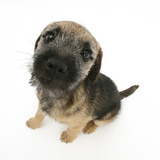 Border Terrier Bitch Puppy, Kes, Sitting and Looking Up Photographic Print by Mark Taylor