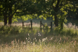 Wildlife Rich Hay Meadow, Early Morning Light in Summer, Lampeter, Wales, UK. June Photographic Print by Ross Hoddinott