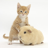 Ginger Kitten, 7 Weeks, and Yellow Guinea Pig Photographic Print by Mark Taylor