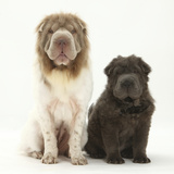 Bearcoat Shar Pei Mother, with Her Blue Bearcoat Puppy, 13 Weeks Photographic Print by Mark Taylor