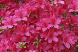 Bloom of Azalea Flowers. Winkworth Arboretum, Surrey, UK, May Photographic Print by Mark Taylor