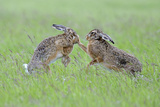 European Hares (Lepus Europaeus) Boxing, Female on Right. Wales, UK, June. Sequence 1 of 2 Photographic Print by Andy Rouse