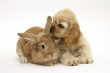 Buff American Cocker Spaniel Puppy, China, 10 Weeks, with Sandy Lionhead-Cross Rabbit Fotografisk tryk af Mark Taylor