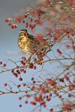 Redwing (Turdus Iliacus) Feeding on Hawthorn (Crataegus Monogyna) Berries in Winter Hedgerow, UK Photographic Print by Chris Gomersall